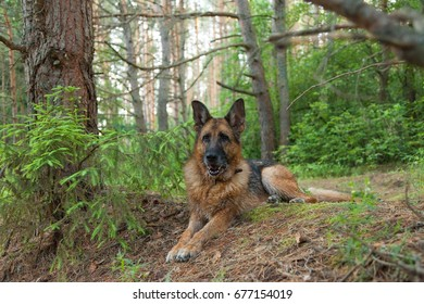 German Shepherd resting in the summer forest