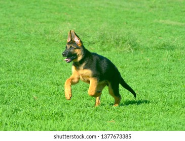 A German Shepherd is running across a green lawn. He is still a puppy, his ears just beginnning to stand erect. He is black and tan in colour, and his front feet are in the air as he runs.