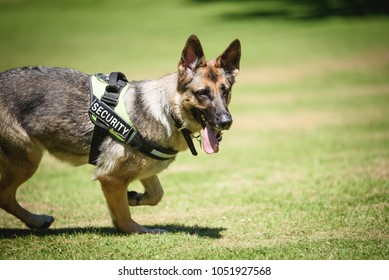 German shepherd Security Dog in Training