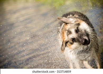 German Shepherd Shaking Off Water - This is an image of a German Shepherd shaking off water after playing in a lake on a hot summer day.