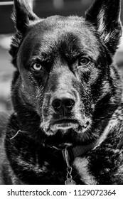 German Shepherd Husky Mix Images, Stock Photos & Vectors