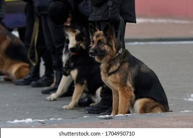 German Shepherd sits beside owner at an army parad with other dogs