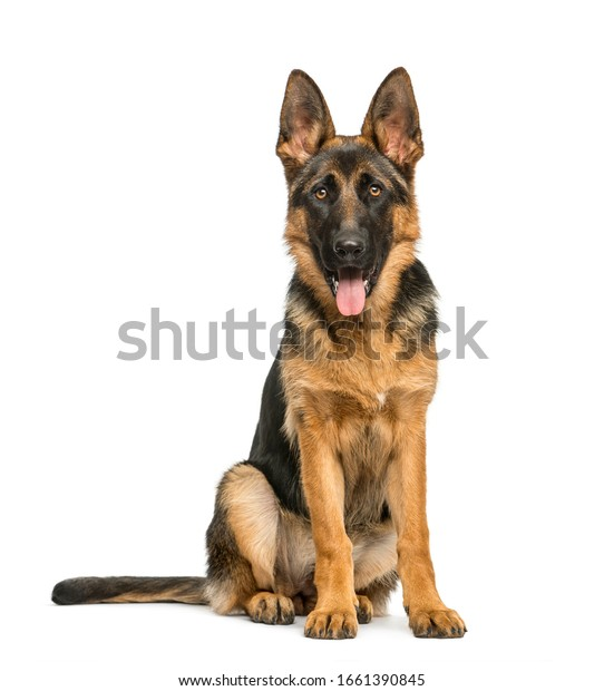 German shepherd sitting and panting, isolated on white