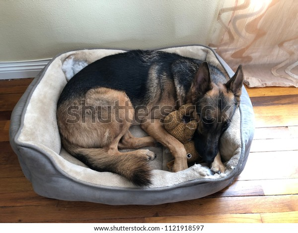 German Shepherd Sleeping Doggy Bed Stock Photo Edit Now 1121918597