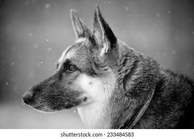 German Shepherd In Snow - This is a black and white portrait of a beautiful German Shepherd looking stoic in the snow.