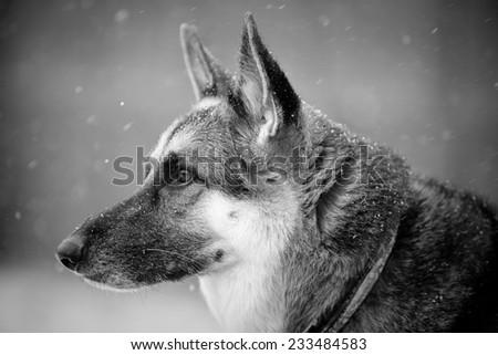 German Shepherd Snow This Black White Stock Photo Edit Now