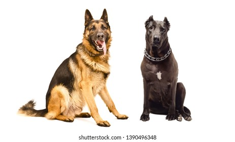 German Shepherd and Staffordshire terrier sitting together isolated on white background