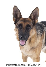 German Shepherd standing in profile on a white background