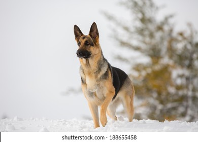 A German Shepherd standing in the snow