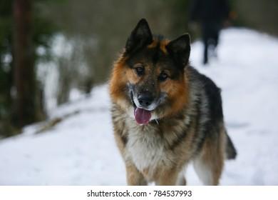 German Shepherd walks in winter in the forest