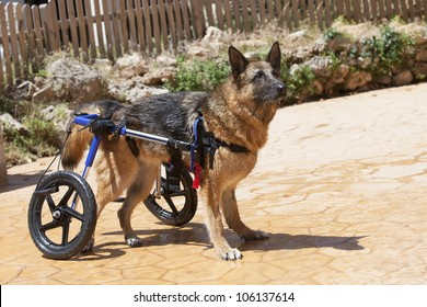 German Shepherd in wheelchair
