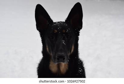 German Shepherd Winter Setting