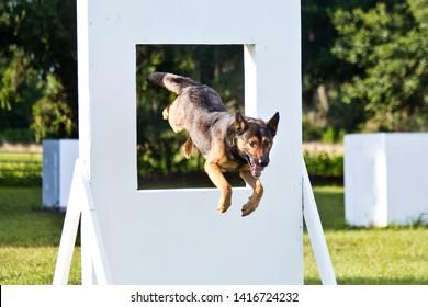 German Shepherd working dog, police K9 unit agility work jumping through window equipment, police canine unit agility training