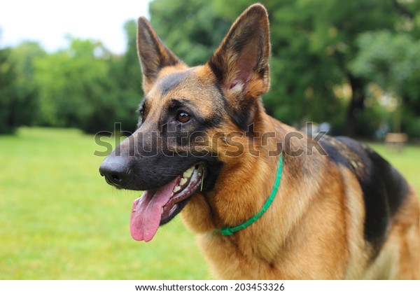 German Shepherd, young German Shepherd, German Shepherd on the grass, dog in the park