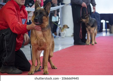 German shepherds during demonstration at an exhibition of dogs