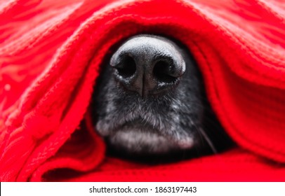 German shepherd's muzzle is wrapped in red hand-knitted scarf in close-up. Charming wet black dog nose inside warm clothes. Warming up for winter. Dog face close-up for a puzzle or calendar.