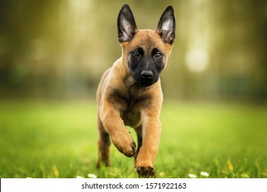 German Sheppard Puppy running on the grass in the forest