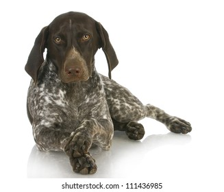 german short haired pointer with paws crossed on white background - 4 months old