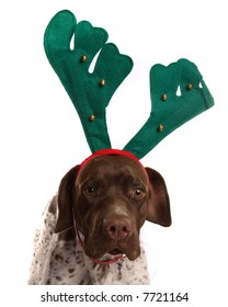 German Short Haired Pointer with reindeer antlers on