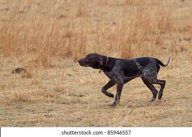 German Shorthair Pointer dog in beautiful point and show position