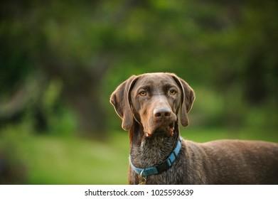 German Shorthair Pointer dog outdoor portrait in greenery