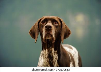 German Shorthair Pointer dog outdoor close up portrait