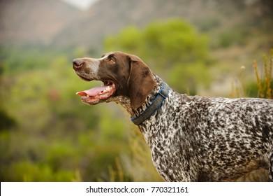 German Shorthair Pointer dog outdoor portrait
