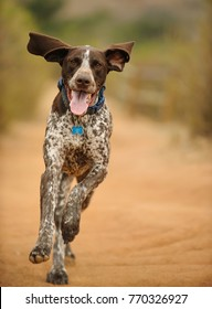 German Shorthair Pointer dog outdoor portrait running straight at camera