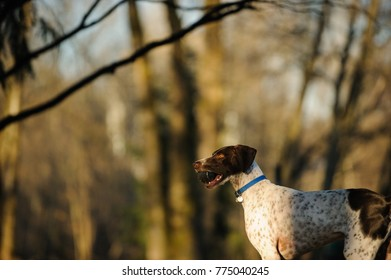 German Shorthair Pointer dog outdoor portrait in forest holding a ball
