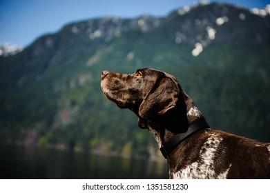 German Shorthair Pointer dog portrait against mountain lake in British Columbia