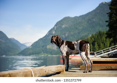 German Shorthair Pointer dog standing on dock in mountain inlet water
