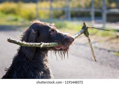 German Shorthair retrieving playfully