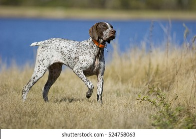 German Shorthaired Pointer dog by water
