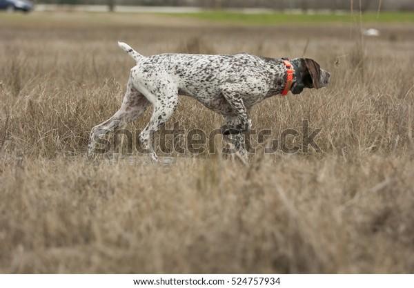 German Shorthaired Pointer dog in grass