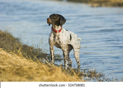 German Shorthaired Pointer dog in water