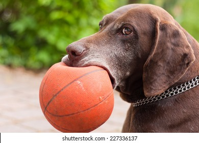 German Short-haired Pointer holding a raptured basketball in his mouth