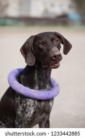 German shorthaired pointer Hunter dog with puller
