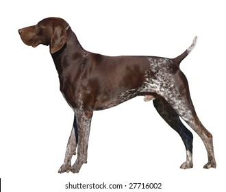 German Shorthaired Pointer isolated with clipping path
