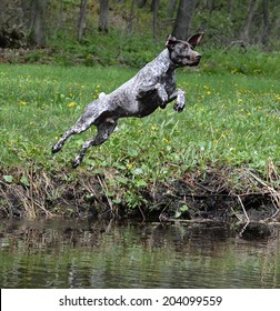 german shorthaired pointer jumping into the river