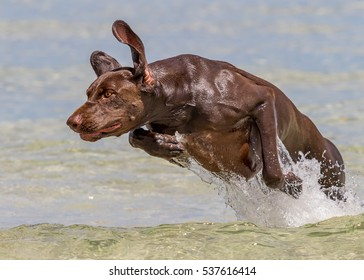German short-haired pointer Jumping out of water.