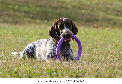 german shorthaired pointer, kurtshaar one spotted puppy  lying on green grass, looking straight into the eyes, in the mouth keeps a toy puller lilac