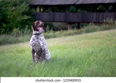 German Shorthaired Pointer is a medium to large sized breed of dog developed in the 19th century in Germany for hunting sitting in green field in front of old wooden covered bridge