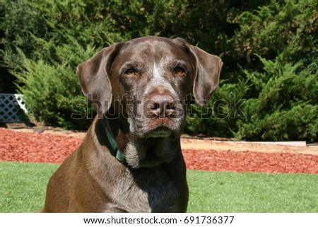 German Shorthaired Pointer Mix Sitting On Stock Photo Edit Now