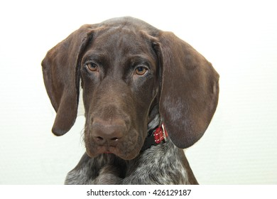 German shorthaired pointer puppy, 16 weeks old