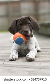 German Shorthaired Pointer puppy with ball