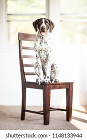 German Shorthaired Pointer Puppy on chair in bright room