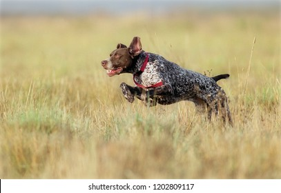 German Shorthaired Pointer running through field while out hunting.