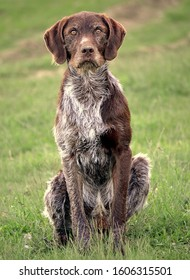 a German Shorthaired Pointer sitting down