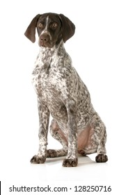 german shorthaired pointer sitting looking at viewer isolated on white background