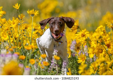 German shothair pointer playing in the wild flowers in the Boise, Idaho foothills